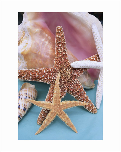 Dried Sea Stars Leaning on Shell by Corbis