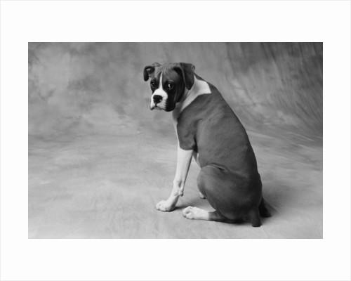 Boxer Puppy by Corbis