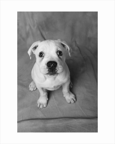 Bulldog Puppy Looking up Sadly by Corbis