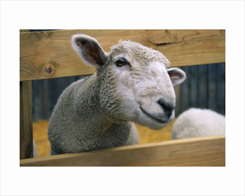 Sheep Poking Head Through Fence by Corbis