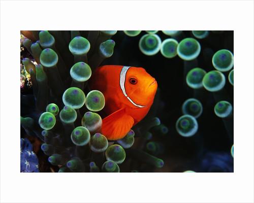 Spine-Cheek Anemonefish and Sea Anemone by Corbis