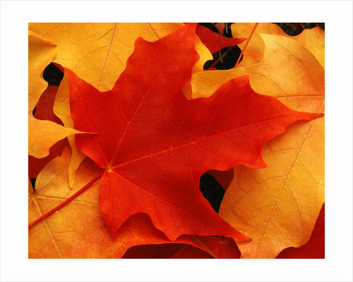 Red and Yellow Maple Leaves by Corbis