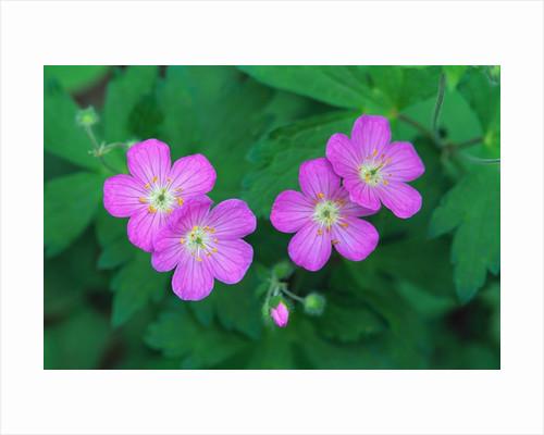 Wild Geranium Flowers by Corbis