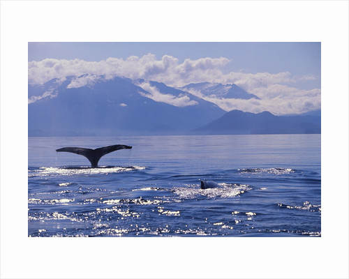 Tail of a Humpback Whale in Frederick Sound by Corbis