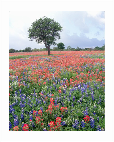 Field of Red and Blue Flowers by Corbis