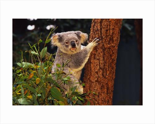 Koala in Tree by Corbis