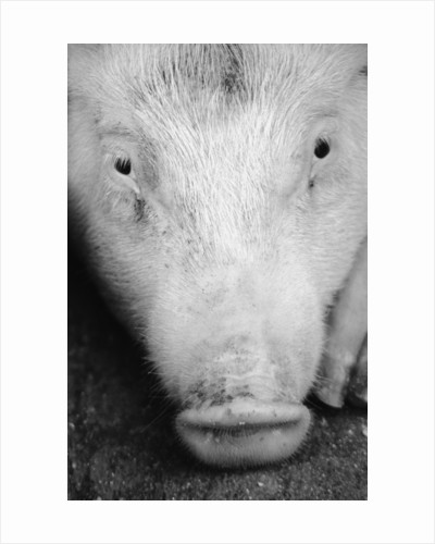 Close Up of Pig's Face by Corbis