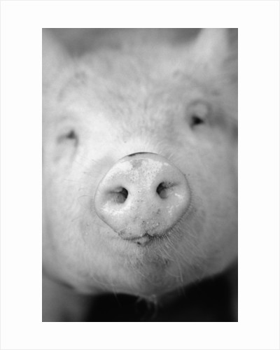 Pig's Nose by Corbis