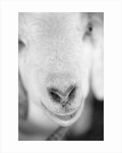 Close Up of Goat's Nose by Corbis