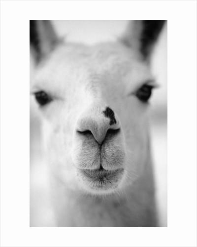 Close-Up of Alpaca's Nose by Corbis