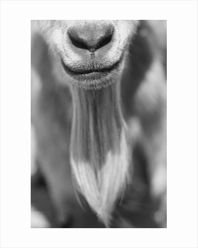 Close-up View of a Goats Beard by Corbis