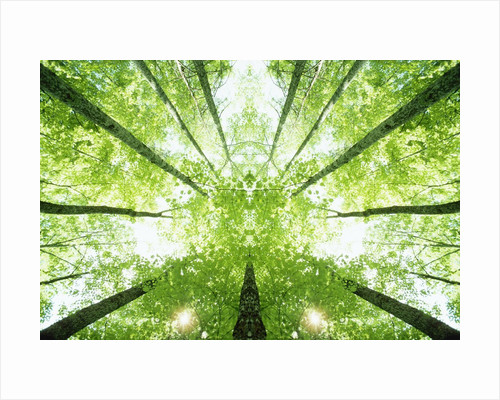 Trees in Forest Ascending by Corbis