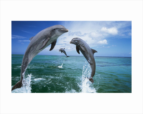 Dolphins Jumping in Ocean by Corbis