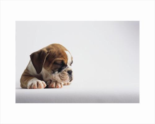 Bulldog Puppy by Corbis