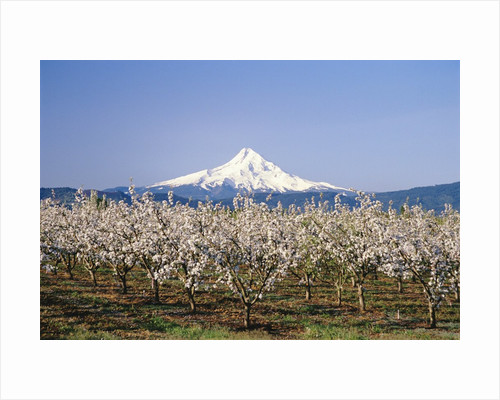 Apple Blossoms Against Mt. Hood by Corbis