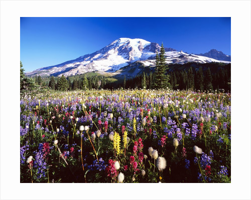 Wildflower Meadow and Mount Rainier by Corbis