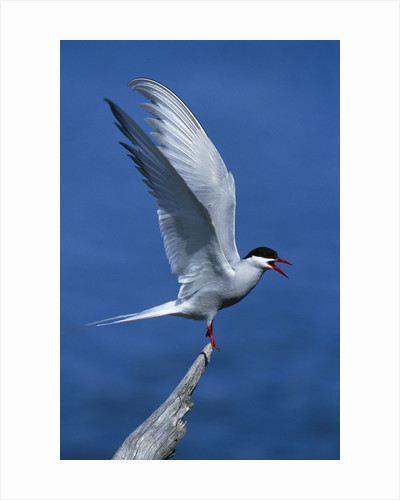 Perching Arctic Tern Spreading Wings in Manitoba by Corbis