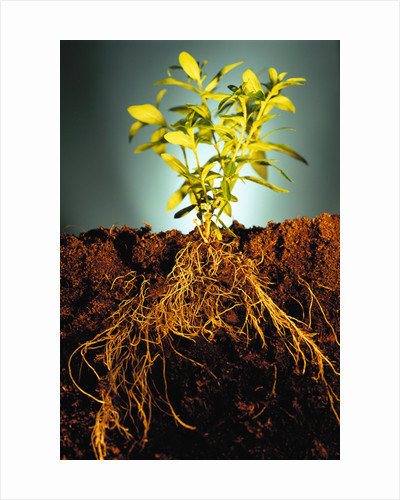 Plant with Roots Digging into Soil by Corbis