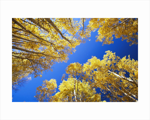 Aspen Trees Against Blue Sky by Corbis