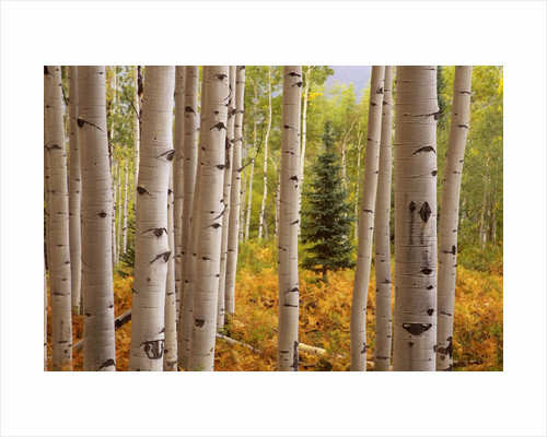 Aspen Forest by Corbis