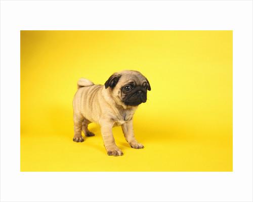 Pug Puppy by Corbis