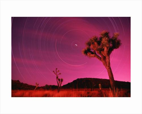Joshua Tree Against Magenta Sky by Corbis