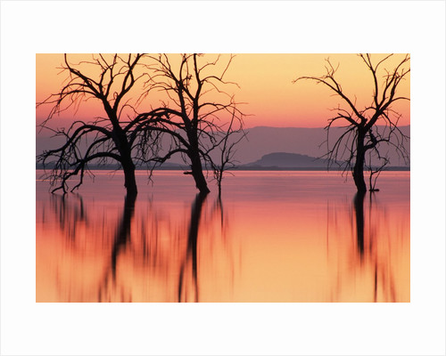 Silhouetted Trees in Salton Sea by Corbis