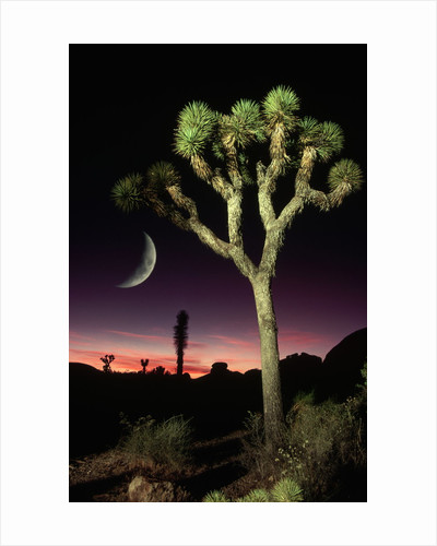Crescent Moon and Joshua Tree by Corbis