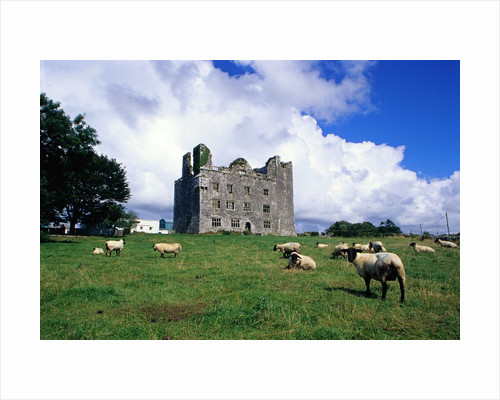 Sheep Grazing near Leamaneagh Castle by Corbis