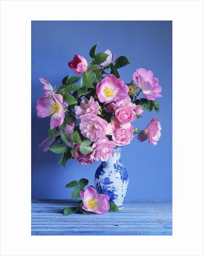 Complicata and Felicia Roses by Corbis