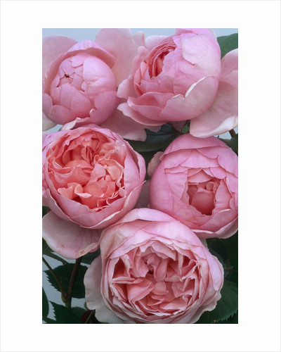 Brother Cadfael Roses by Corbis
