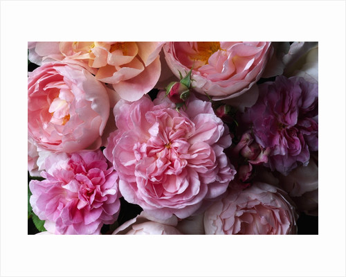 Cottage Rose and Sceptered Isle Roses by Corbis