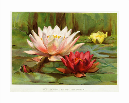 Hardy Water-Lilies by Corbis