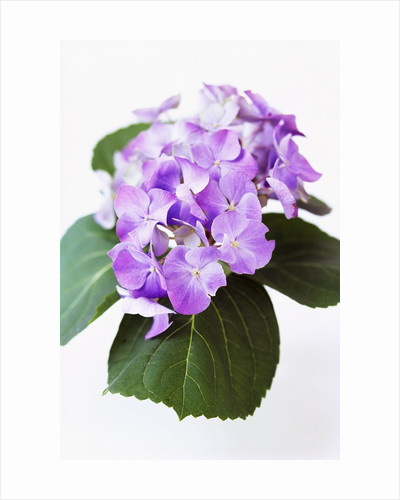Cluster of Purple Hydrangea Flowers by Corbis
