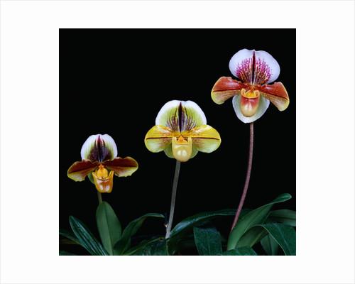 Three Paphiopedilum Orchids by Corbis