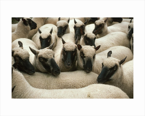 Animals at Findon Sheep Fair by Corbis