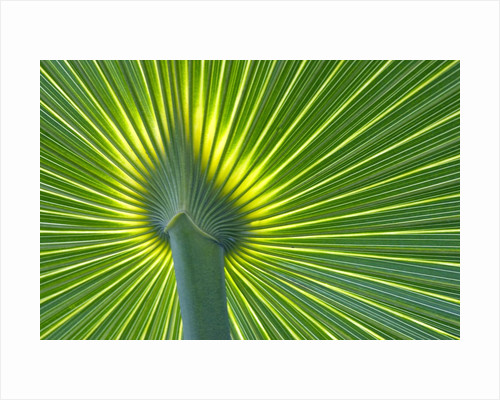 Palm Frond by Corbis