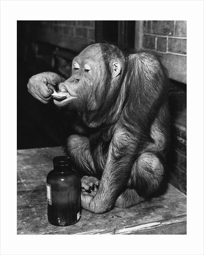 Orangutan Takes His Daily Medicine by Corbis