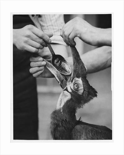 Ground Hornbill Taking Medicine by Corbis