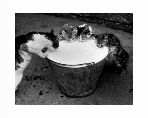 Kittens Slurping from a Pail of Milk by Corbis