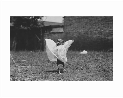 Dancing Dog by Corbis