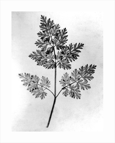 Still Life of Leaf, 1844 by Corbis