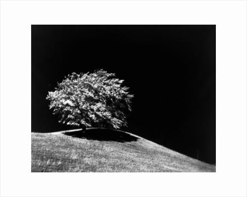 Lone Tree in Sunlight by Corbis