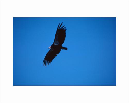Soaring California Condor by Corbis