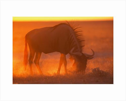 Blue Wildebeest Feeding at Sunset by Corbis