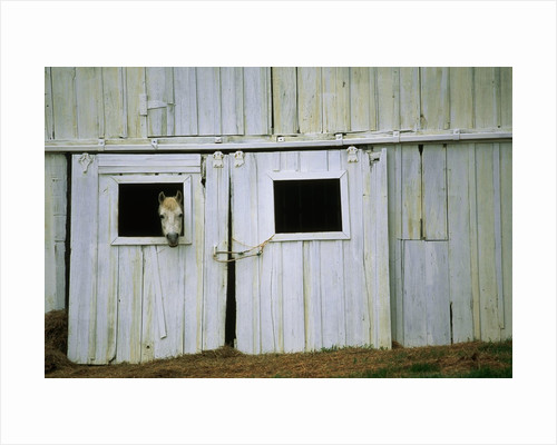 Horse Peering Through Barn Door by Corbis
