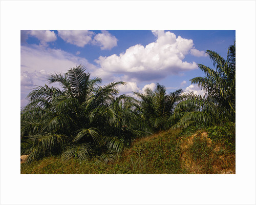 Vegetation at Palm Oil Plantation by Corbis