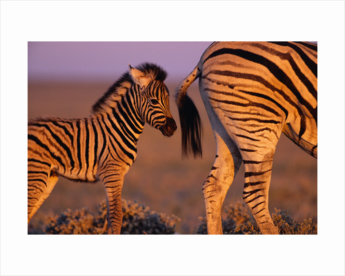 Young Plains Zebra by Corbis