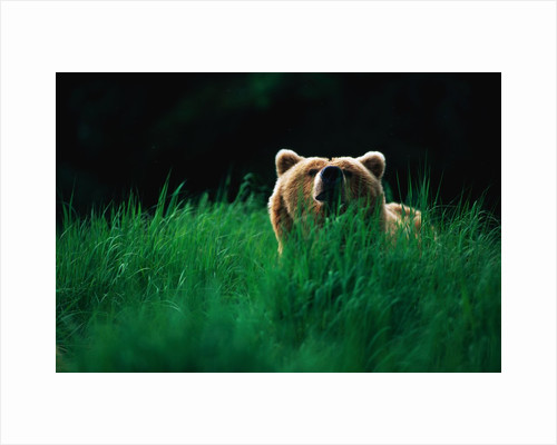 Brown Bear in Tall Grass by Corbis