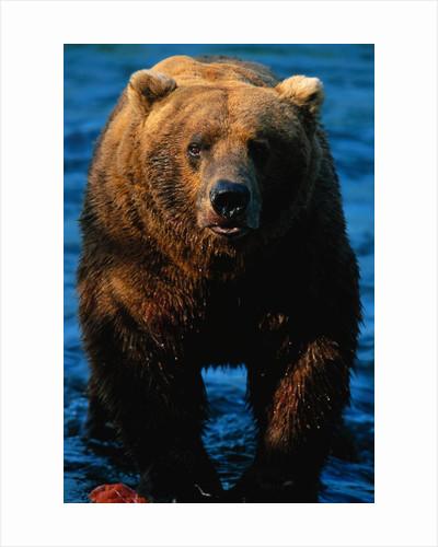 Brown Bear Eating Sockeye Salmon by Corbis